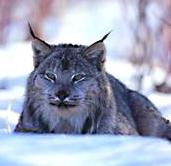 Larry the Lynx